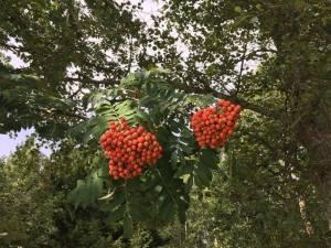 rönnbärr